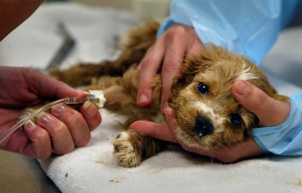 paraviroza canina