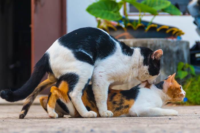 cand intra pisicile in calduri